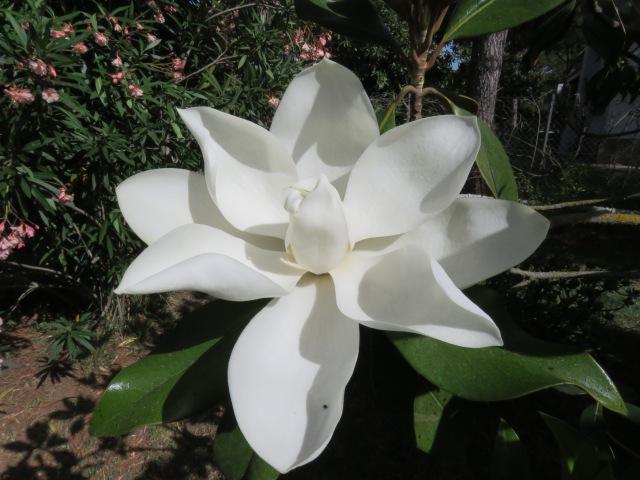 flor-del-magnolio-2