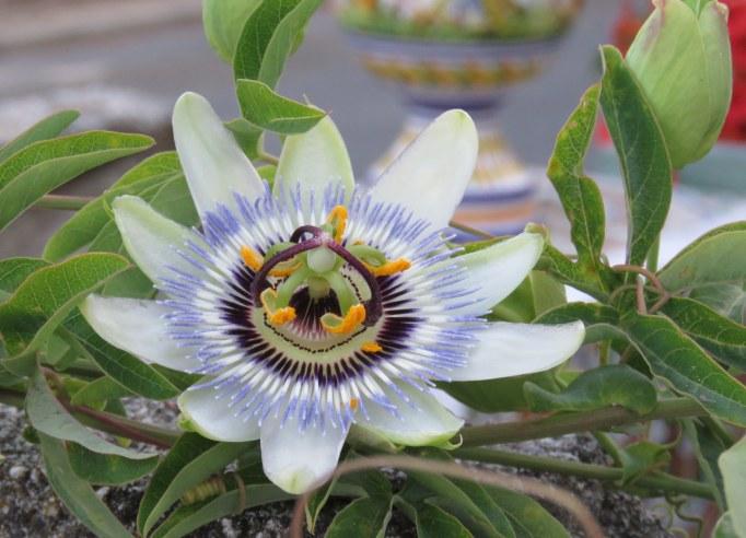 Flor de la pasion. Passiflora